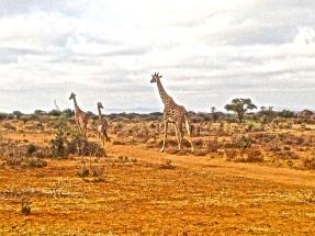 Giraffe siting!