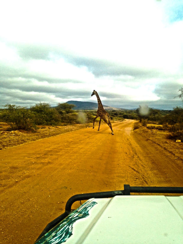 Watch out for giraffe crossing!