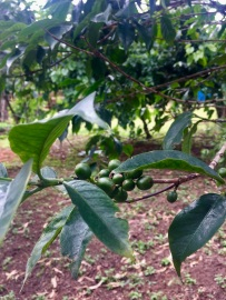Coffee plants in our backyard