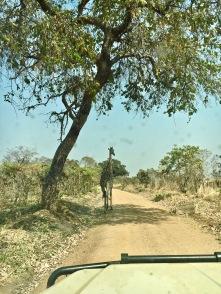 Giraffe in Katavi National Park