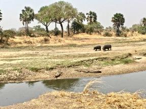 Hippos and crocs -Katavi